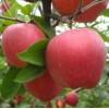 优质脱毒苹果苗 烟台果树苗5511618