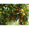 南丰蜜桔、砂糖橘、贡柑等水果
