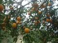 万州柠檬 (10)
