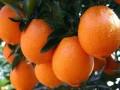 云阳脐橙 (8)
