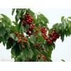 大樱桃订购品种齐全欢迎实地考察四月成熟