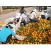 大量供应石门柑橘柑桔批发代购代办