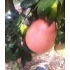 平和三红蜜柚苗出售|三红蜜柚苗价格