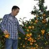 湖南常德柑橘大量供应