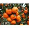 大量供应 代收石门柑橘