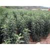 低价出售杏树苗、苹果苗、桃树苗、花椒苗