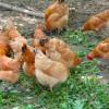 大爱农业无抗鸡|陕西大爱农业