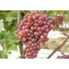 克伦生 克伦生葡萄销售 克伦生葡萄 甜蜜蓝宝石葡萄 蓝宝石葡萄