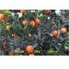 一件代发四川东坡脐橙 非赣南橙新鲜采摘纽荷尔甜橙子5斤10斤包邮