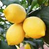 新鲜柠檬 尤力克黄柠檬水果 9.9包邮2斤装 一件代发 非安岳柠檬